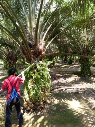 Malaysia Farms Face $3 Billion Hit From Palm Oil Worker Shortage